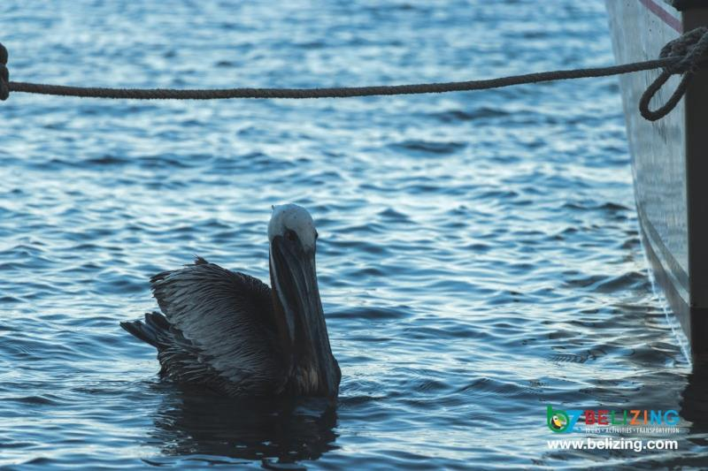 Caye Caulker Travel Guide - Bird Watching