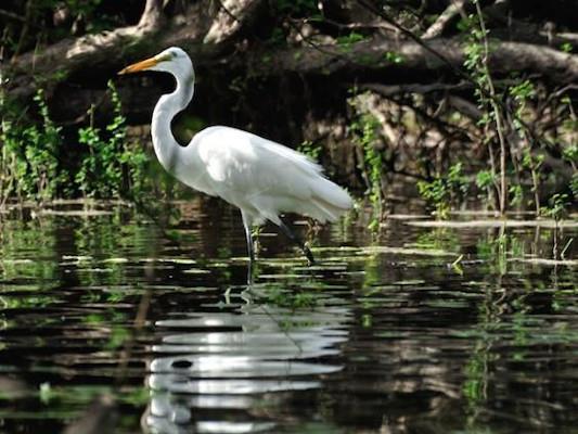 Bird Watching in Caye Caulker